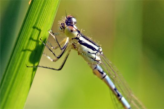 9590 Damselfly by RealMantis