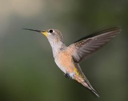 Female Rufus hummingbird by nolra