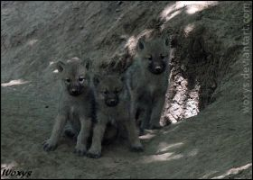 Wolf puppies, welcome by woxys