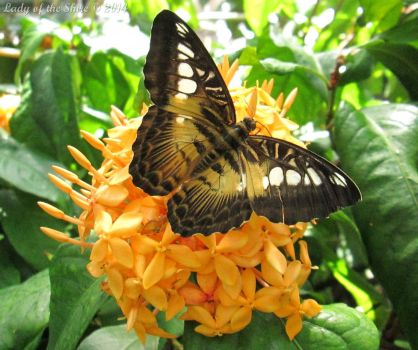 Filipino Clipper (Parthenos sylvia) by ladyoftheshire