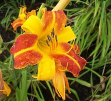 Orange Day Lily by AppleBlossomGirl