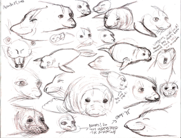 Elephant Seal Sketches 1 by crazyraccoon