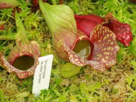 .stock: pitcher plants. by guavon-stock