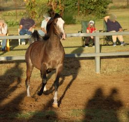 JA Arab Rose Grey Trot front on pretty face by Chunga-Stock