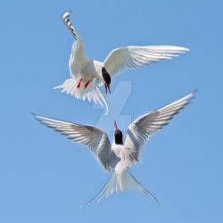 A tern for the worste - Arctic terns