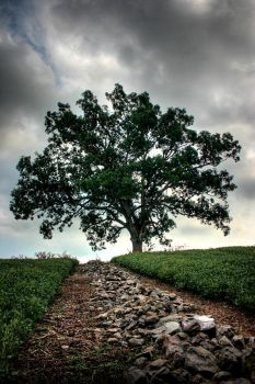 Shawshank Oak Tree by bkueppers