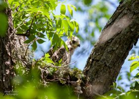 Red Shouldered Hawk Nest by EdgedFeather