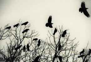 crows by Salafte
