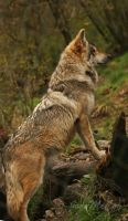 Mexican Wolf by thememory666
