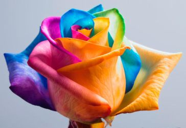 Happy Roses Rainbow Rose II by RAINBOWedROSES