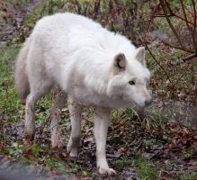 White Wolf Stock 16 by HOTNStock