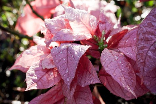 Pink Leaves with Raindrops by richardxthripp