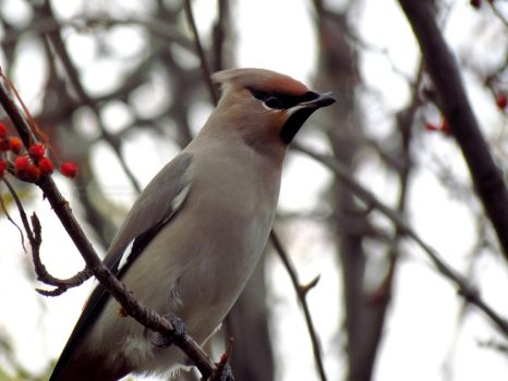 Waxwing by Valnushka
