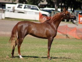 TW Arab liver chestnut standing side view by Chunga-Stock
