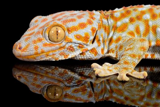 Reflections of a Tokay gecko by AngiWallace