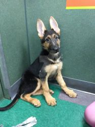 beautiful female GSD puppy  by OTlover