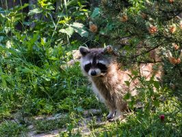 Raccoon by MartyMcFly81