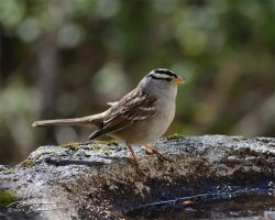 White Crowned Sparrow 1 by themanitou