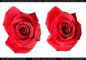 Red Rose cut out stock 2 by ManicHysteriaStock