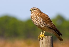 Perched Red Shouldered Hawk by Grouper