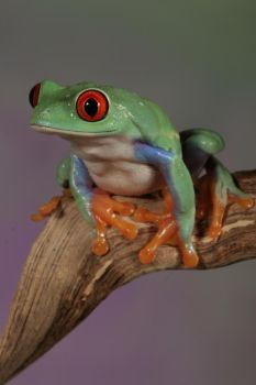 red-eyed tree frog 1 by bugalirious-STOCK