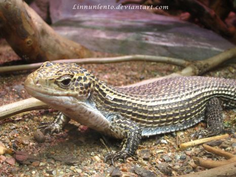 Round-nosed plated lizard by Linnunlento