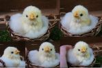 Needlefelted  chick by sheeps-wing