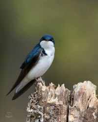 Tree Swallow-Arrival by JestePhotography