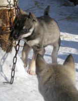 Husky puppies - This is MINE by Elkenar