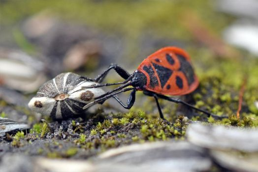 7105 Firebug carrying a sunflower seed by RealMantis
