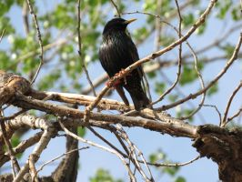 Starling In a Tree by Mechalight