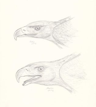 Eagle study 2 by KarinM