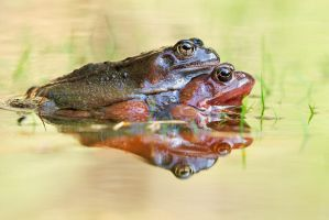 grass frogs by MartinAmm