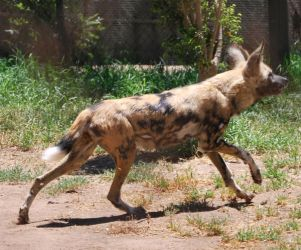 African Wild Dog Stock 3 by HymnsStock