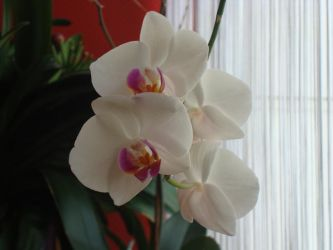 Stock: Orchid2 by FantasyFailure-Stock