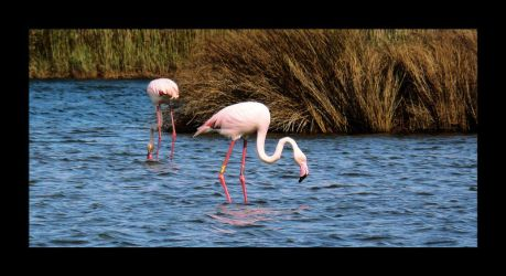 Flamant rose by purhipnoze