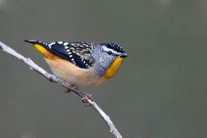 Spotted Pardalote (M) by strictfunctor
