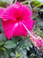 Red Hibiscus by imatrashcan2