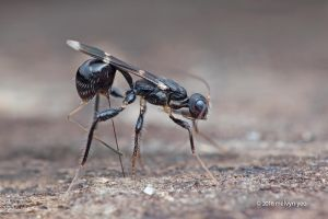 Wasp Ovipositing by melvynyeo