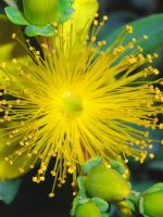 St. Johnswort 1 by euphoricallydead