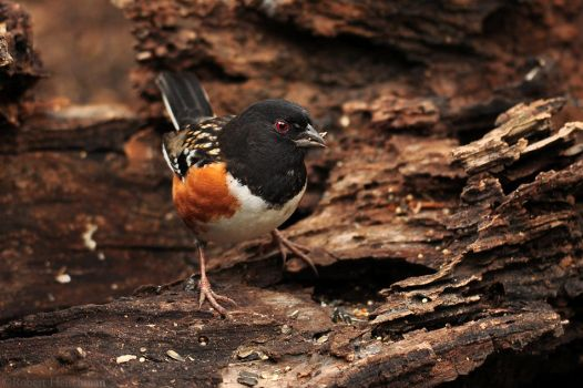 Spotted Towhee 1668 by robbobert