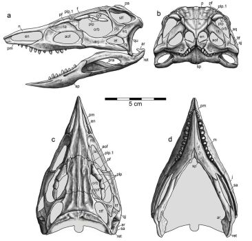 Stenomyti skull reconstruction by Typothorax