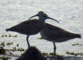 Twin Headed Curlew by wolfwings1