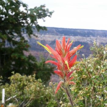Indian Paint Brush by animallover0629