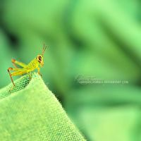Melanoplus differentialis by kathero3