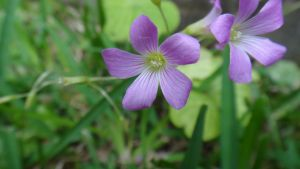 Pink Woodsorrel Flowers by AnonymousRabbitLover