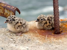 Seagull babies 01 by nordfold