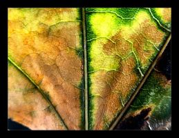 :: fall leaf III :: by synergia