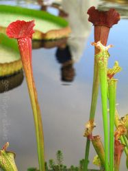 carnivorous plants by good-fortune