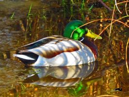 Reflective Duck by wolfwings1